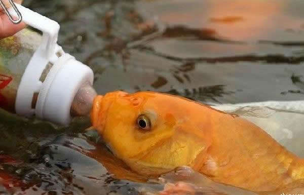 吃奶鱼(奶瓶喂鱼)招商_2