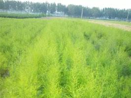 農民想致富就選蘆筍種植,到濟南富農農業給你 提供良好蘆筍種子和技術