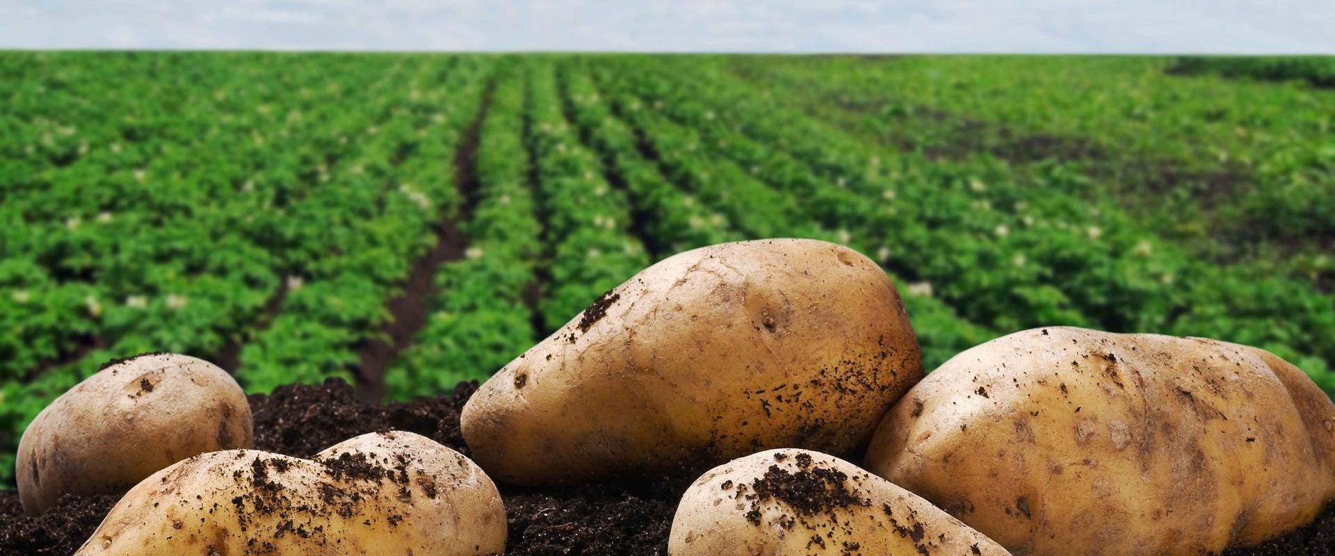 时时果蔬土豆大供应