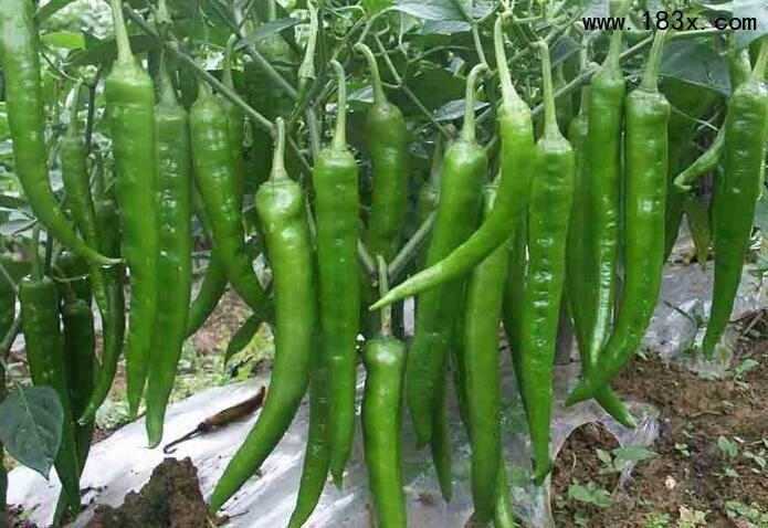 滨州辣椒苗厂家出售辣椒种子价格_1