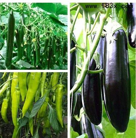 滨州辣椒苗厂家出售辣椒种子价格_2