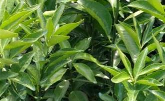 钦州哪里出卖091无核沃柑苗的