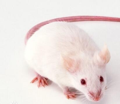 子宫内膜异位症裸鼠模型造模方法(图)_1