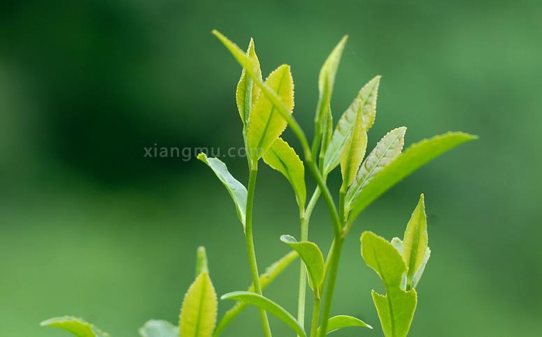 安池茶叶加盟_1